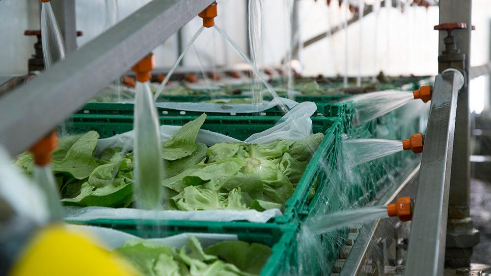 insalata-bio-in-lavorazione