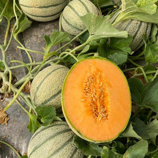 meloni campo